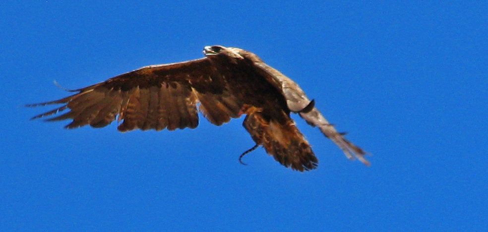 Golden Eagle With Gopher Snake